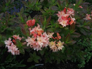 Rhododendron 'Cannon´s Double'